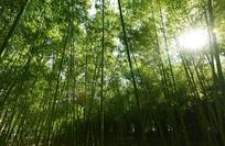 阳光下的竹林