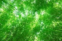 仰拍的绿色竹林