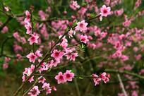 春日盛开的桃花