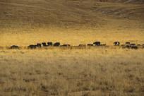 草原公路牦牛