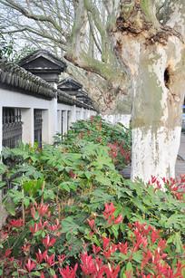 围墙边梧桐树