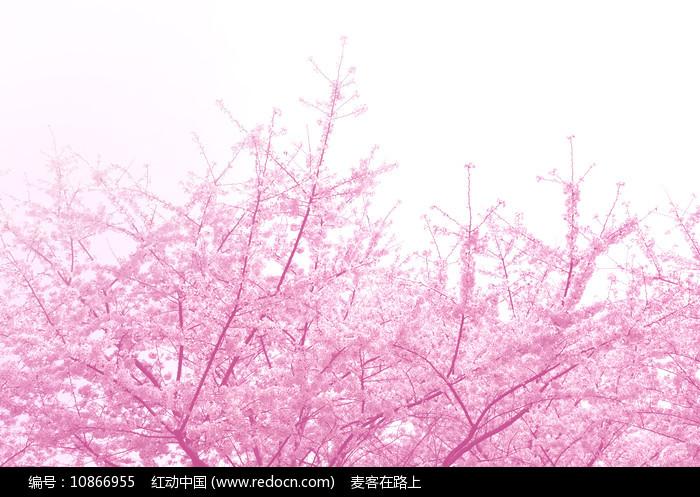 樱花浪漫图片