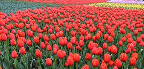 成片的郁金香花园