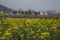 春天里的油菜花