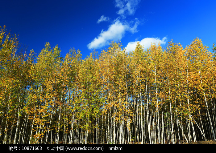 大兴安岭秋季白桦林图片