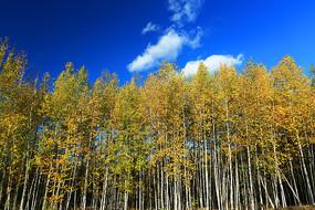 大兴安岭秋季白桦林