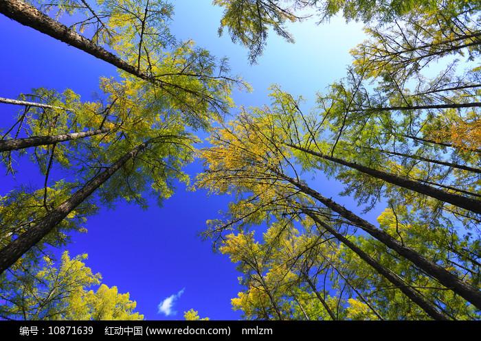 大兴安岭秋季金色松林风景图片