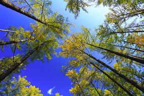 大兴安岭秋季金色松林风景