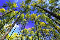 大兴安岭秋季晴空金色松林