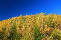 大兴安岭秋山金色树林
