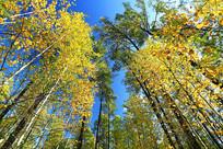 大兴安岭秋天金色的树林