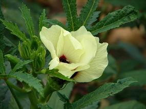 锦葵科植物秋葵黄色的花朵