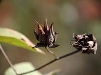 秋天金丝桃枯萎的花萼
