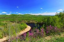 大兴安岭森林河杜鹃花盛开