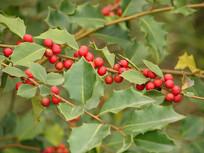 华中枸骨红色的果实和绿色枝叶