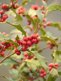 华中枸骨枝头上红色的果实