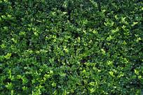 铺满的绿色植物墙