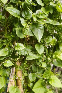 菜园里的软浆叶