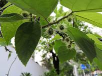 长满长须的构树果实拍摄