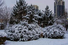 挂着雪花的松树树丛与高层建筑