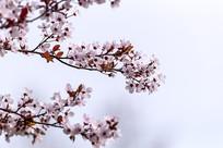 红叶李花开