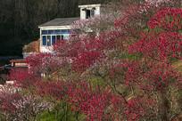 开满桃花的村庄