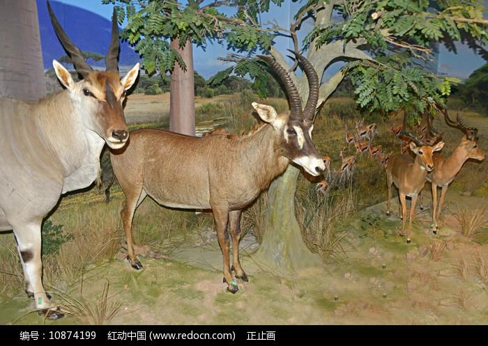 马羚和普通大羚羊标本图片