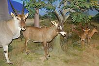 马羚和普通大羚羊标本