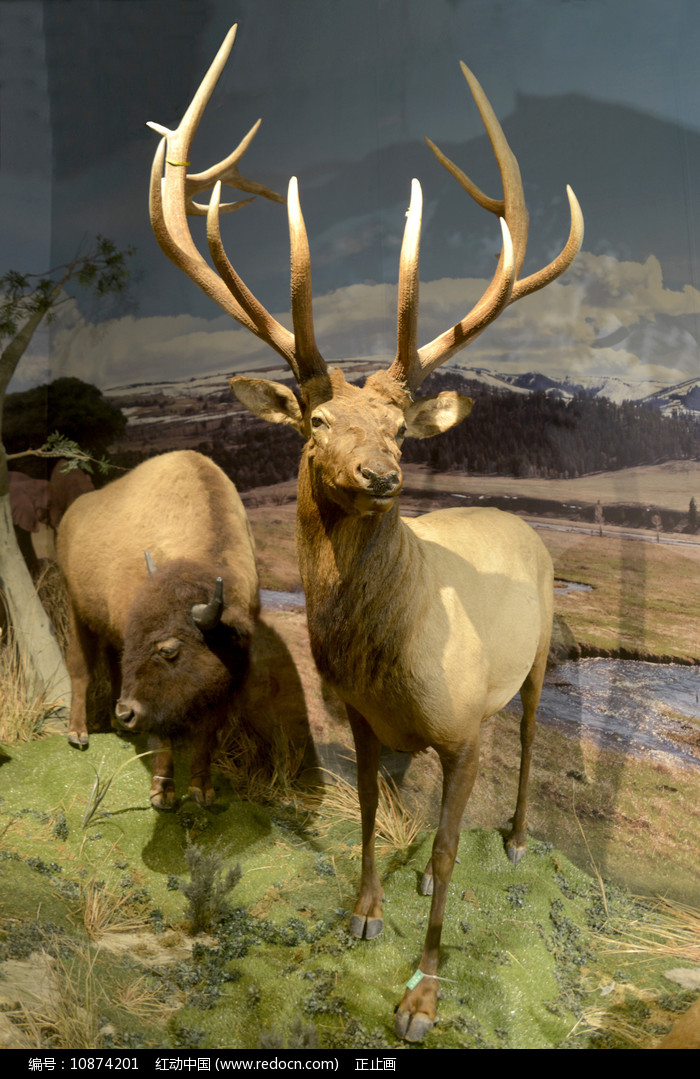 美洲野牛和马鹿标本图片