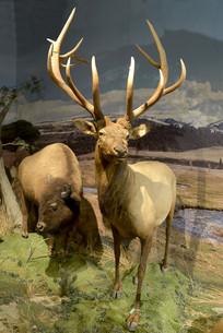 美洲野牛和马鹿标本