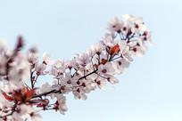 盛开的红叶李花