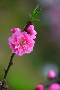 桃花花朵与花蕾特写