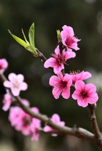 绽放的桃花