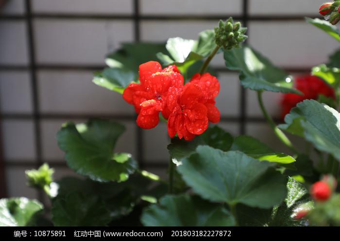 春天天竺葵开花图片
