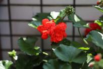 春天天竺葵开花
