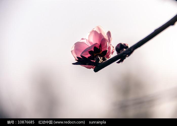 粉红色碧桃花图片