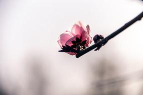 粉红色碧桃花