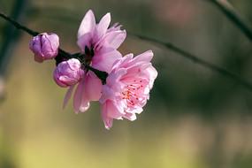 粉色桃花和骨朵