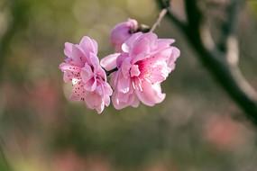 粉色桃花开