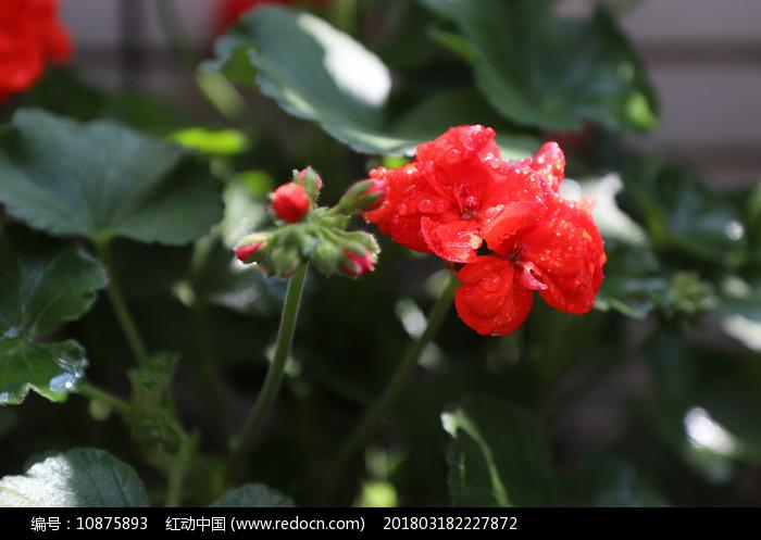 含苞待放唯美天竺葵图片