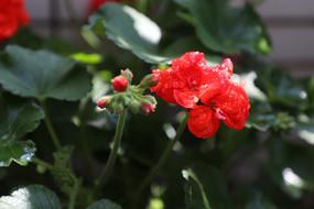含苞待放唯美天竺葵