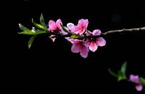 黑色背景中的一枝桃花