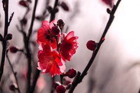 红碧桃花开