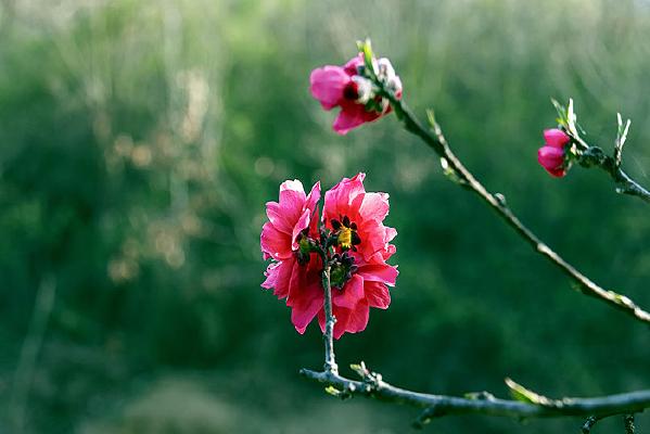 红花绿叶碧桃