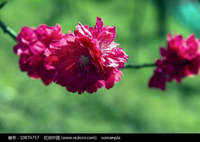 绯红色桃花图片