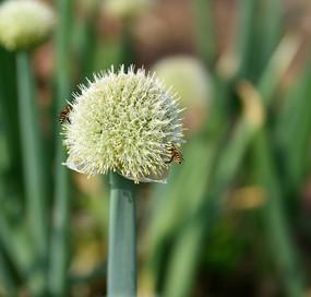 开花的大葱