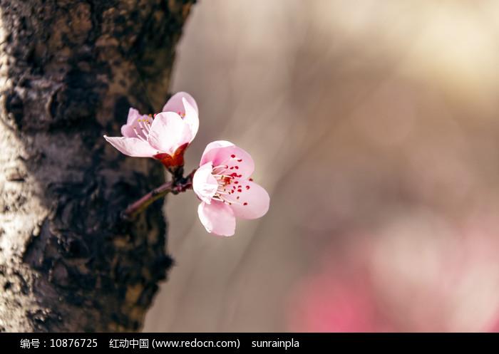 两朵粉红色桃花图片