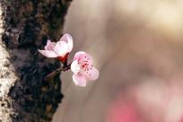 两朵粉红色桃花