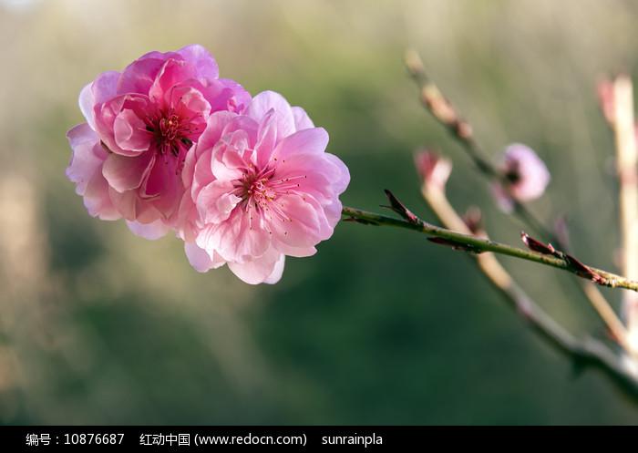 两朵红色的桃花图片