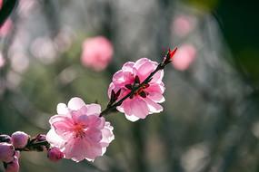 两朵盛开的粉色桃花